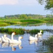 Rural summer landscape. Domestic white geese swimming in the river — Foto Stock