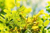 Spring branch and flower of Acacia over the bokeh background wit — Stock Photo
