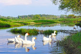 Rural summer landscape. Domestic white geese swimming in the river — Stock Photo