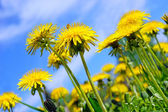 Pretty summer field. Dandelion against sunny blue sky — Stock Photo