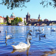 Stock Photo: View on Charles bridge and Swans on Vltava river in Prague, Czec