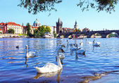 View on Charles bridge and Swans on Vltava river in Prague, Czec — Stock Photo