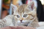 Hübsch gestreifte schottischer Katze, soft-Fokus — Stockfoto