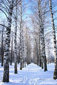 Winter park, scenery with trees Birch with covered snow branches — Stock Photo
