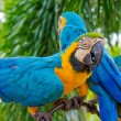 Amazing Blue and Yellow Macaw (Arara parrots) — Stock Photo #45933641