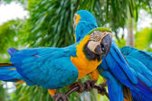 Amazing Blue and Yellow Macaw (Arara parrots) — Stock Photo