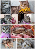 Collage photos of british tabby cat — Stock Photo