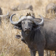 Stock Photo: Wild AfricBuffalo