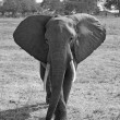 Stock Photo: Wild Elephant