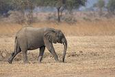 Elefante selvagem — Foto Stock