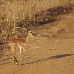 Wild Impala — Stock Photo #13936656