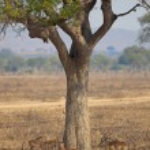 Wild Impala — Stock Photo #13936718