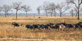 Wildebeest in Mikumi — Stock Photo