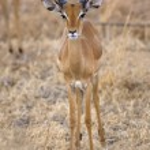 Wild Impala — Stock Photo #13981922