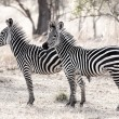 African Zebra - Stock Photo