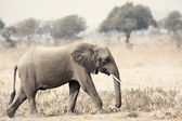 Wild Elephant — Stock Photo
