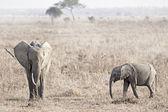 Wild Elephant — Стоковое фото