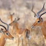 Wild Impala — Stock Photo #14595091