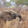 Wild Elephant - Stock Photo
