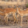 Wild Impala - Zdjcie stockowe