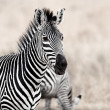 African Zebra — Stock Photo
