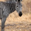Royalty-Free Stock Photo: African Zebra