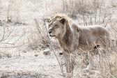 Wild lion — Stock Photo