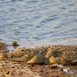 Nile Crocodile — Stock Photo #14864469