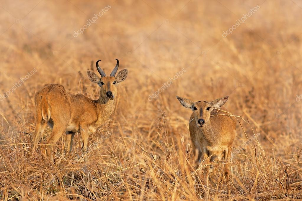 Wild Impala in the African savannah, Tanzania — Stock Photo #15023831