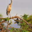 Black-Headed Heron - Stock Photo