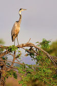 Black-Headed Heron — Stock Photo