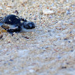 Stock Photo: Green SeTurtle Hatchling