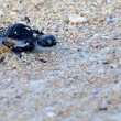 Green Sea Turtle Hatchling — Stock Photo #15480247
