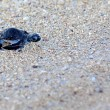 Green Sea Turtle Hatchling - Stock Photo