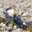 Stock Photo: Green Sea Turtle Hatchling