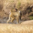Baboon in the savannah — Stock Photo #15627811