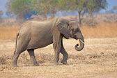 Vild elefant — Stockfoto