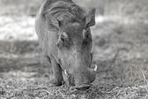 Wild warthog — Stock Photo
