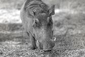 Vilda vårtsvin — Stockfoto