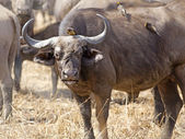 Wild African Buffalo — Stock Photo