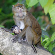 Macaque Monkey — Foto Stock #26980557