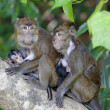 Macaque Monkey — Foto Stock #26980749