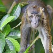 Macaque Monkey — Foto Stock #26980967