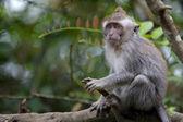Macaco macaco-de-cauda-comprida — Foto Stock