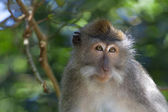 Long-tailed Macaque Monkey — Stock Photo