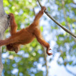 Stock Photo: Borneo Orangutan