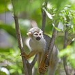 Squirrel Monkey — Stock Photo #27946321