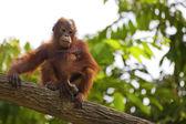 Orangotango de bornéu — Foto Stock