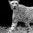 Stock Photo: Wild Cheetah