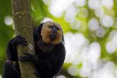 White-faced Saki Monkey — Stock Photo